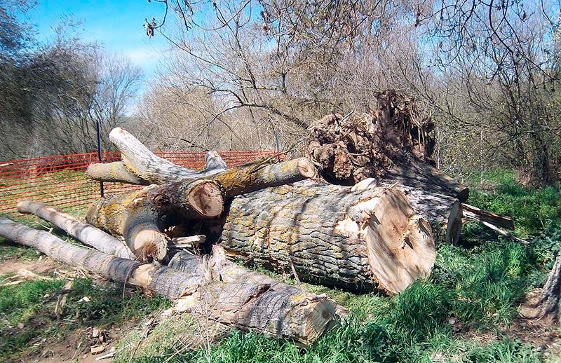 Árboles talados en la Isla del Soto.