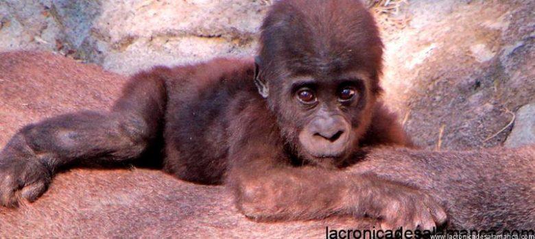 cría de gorila en el zoo de madrid