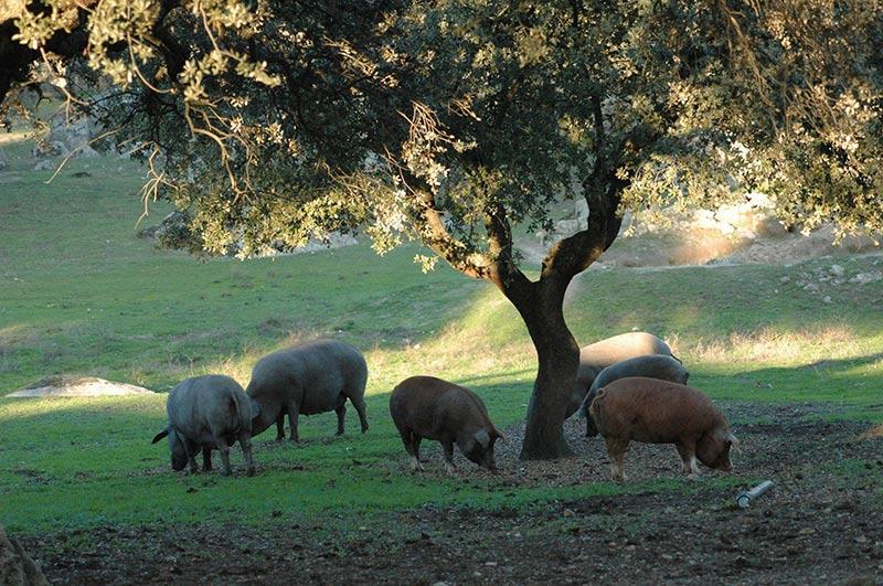 cerdos ibéricos