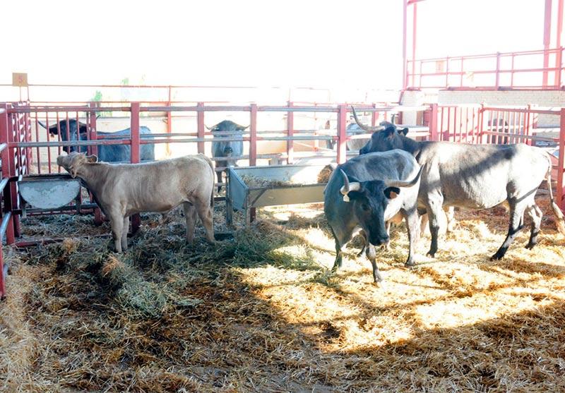ganado vacuno vacas morucha