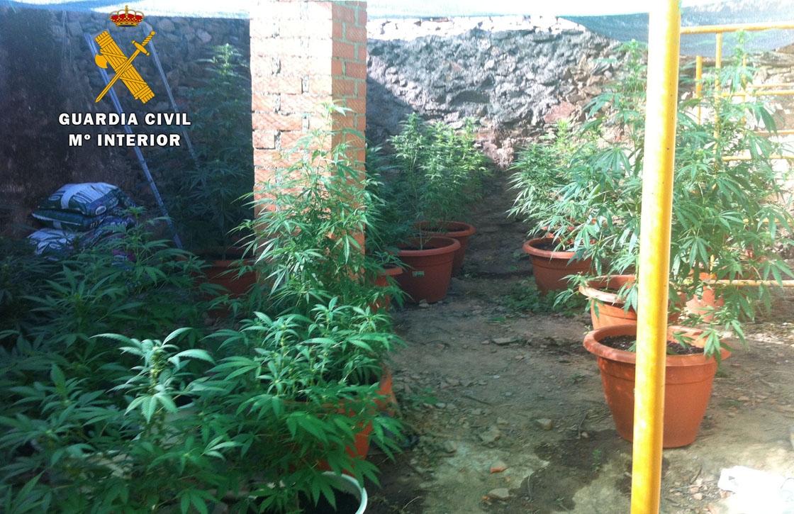 marihuana plantas