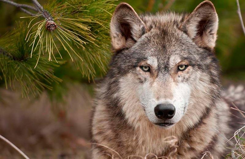 Un lobo salvaje.