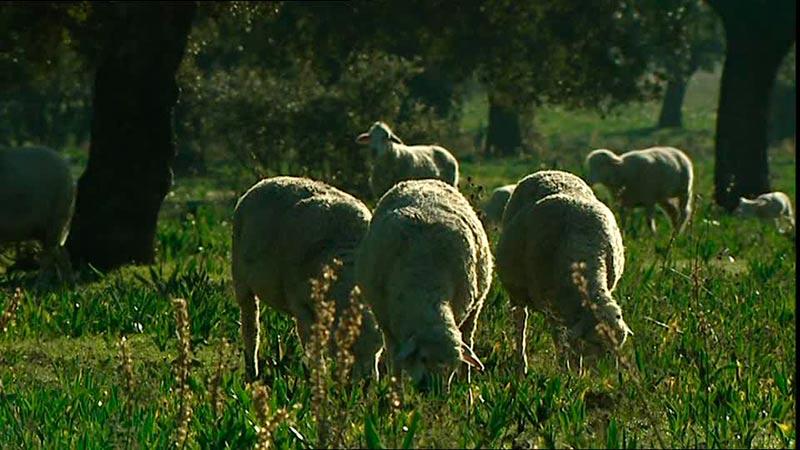 656283772-cordero-rebano-de-ovejas-extremadura-pastar