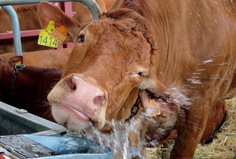 salamaq vaca ganado