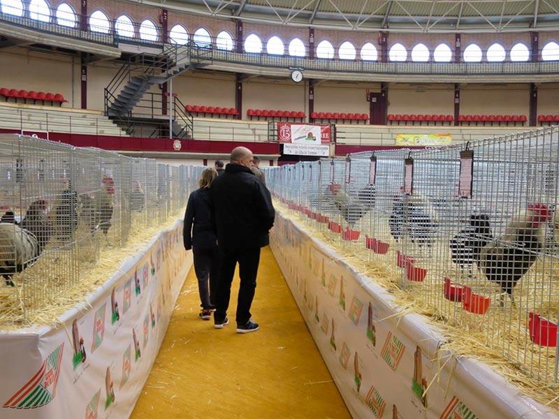 alba campeonato avicultura y colombicultura palomas gallinas 3
