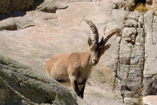 Cabra montesa en la sierra de Gredos.