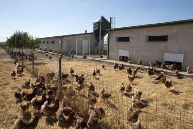 La granja de gallinas camperas del emprendedor salmantino Segio García Panero en Tardáguila. Fotos. Jesús Formigo/ICAL.