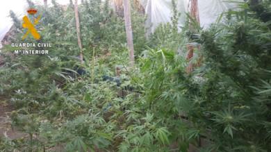 Las plantaciones de marihuana desmanteladas por la Guardia Civil de Salamanca en Ciudad Rodrigo.