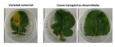 Investigadores salmantinos crean planta transgénica de colza resistente al 'pie negro'