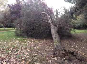 Árbol tronchado por las fuertes rachas de viento en La Aldehuela.