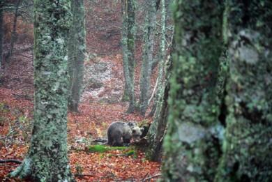 ICAL Liberada una cría de oso pardo que el pasado mes de mayo fue rescatada en el concejo de Santo Adriano (Asturias)