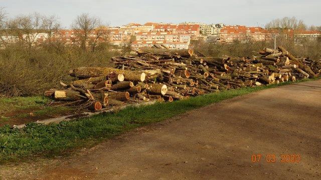 Los troncos de los árboles talados en la ribera del Tormes.