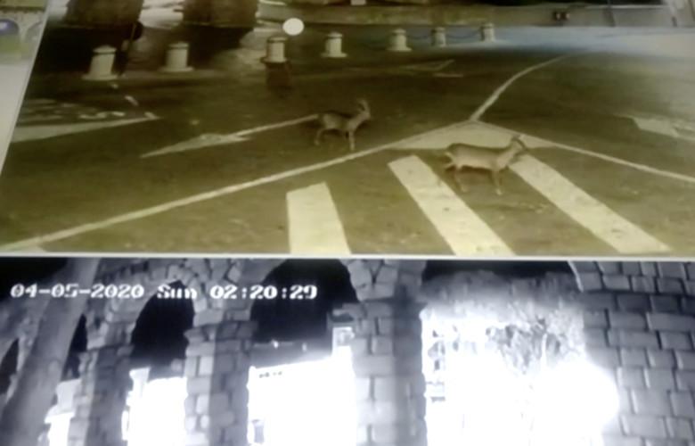 Dos corzos se pasean por las inmediaciones del acueducto de Segovia en plena