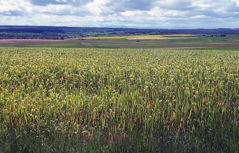 campo cultivo trigo