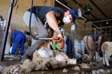 JESÚS FORMIGO / ICAL . La cuadrilla de Uruguay trabajando en Valsalabroso, Las Uces, esquilando 350 ovejas