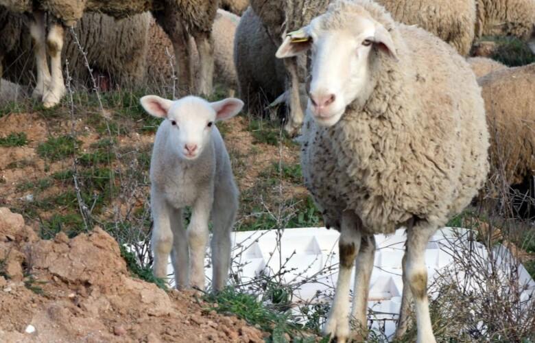 campo ovino ovejas