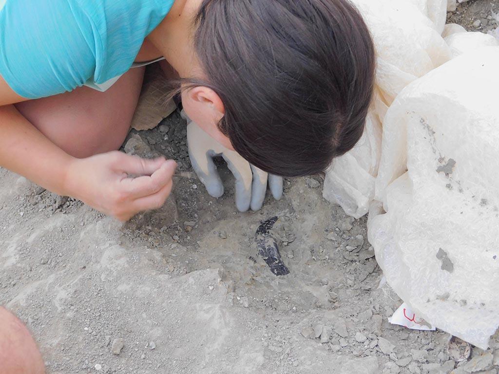 Diente de terópodo en el yacimiento de Torrelara. Foto. DiCYT