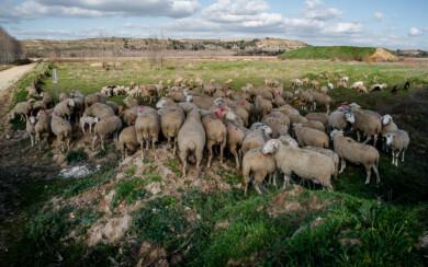 Un rebaño de ovejas.