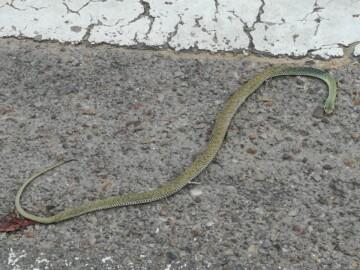 Un reptil de unos 70 centímetros en la calle Ponferrada.