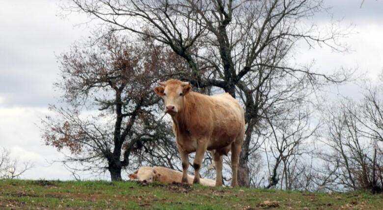 vaca vacuno ganado campo