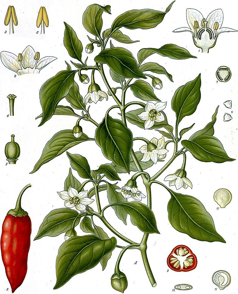 Capsicum annuum L., 1753 (Cromolitograbado en H. A. Köhler, 1887).