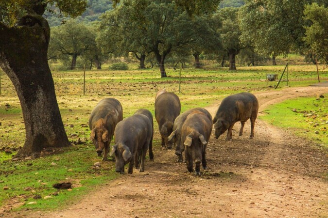 Cerdos ibéricos en la dehesa.