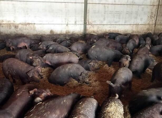 porcino cerdos