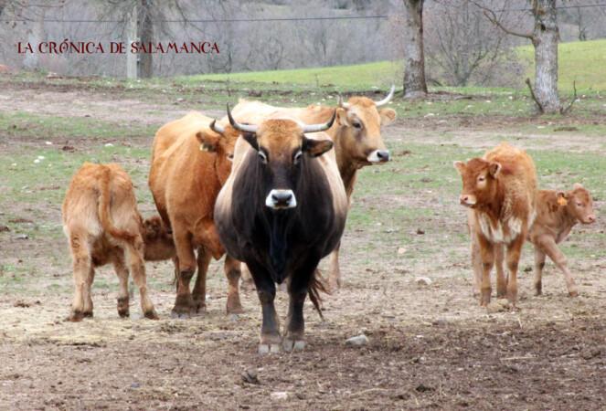 Salamanca es la provincia con más cabezas de ganado vacuno de España.