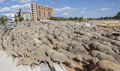 Campillo ICAL . Un rebaño de unas 1.900 ovejas atraviesa León en su recorrido trashumante (1)