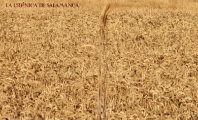 cosecha cereales