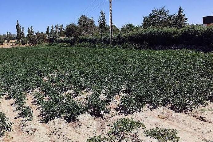 cultivo patata