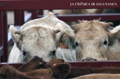 El mercado de ganado de Salamanca.