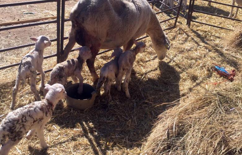 La oveja que parió cinco corderos en la explotación ganadera de Sebastián García en Santa Olalla de Yeltes.