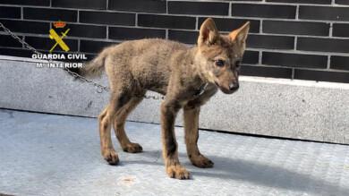 Guardia Civil / ICAL . La Guardia Civil rescata a un cachorro de lobo en localidad de Abelgas de Luna (León)