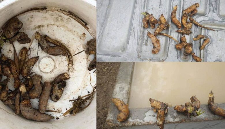 Las raíces de cicuta encontradas por el ganadero de Hinojosa de Duero.