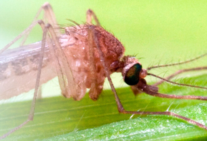 Mosquito Nilo