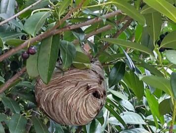 nido avispa asiatica vetulina ponferrada ical