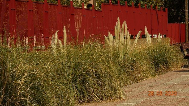El plumero es una especie invasora difícil de erradicar procedente de Argentina.