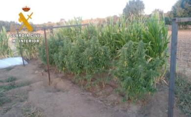 marihuana plantacion ciudad rodrigo