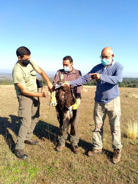 ICAL. Medio Ambiente suelta un ejemplar de buitre negro, seis lechuzas y un milano en el Parque Natural de los Arribes del Duero (Zamora)