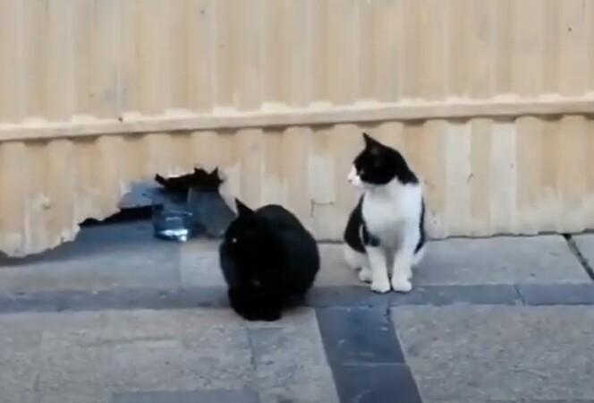 Los gatos de la Rúa de Salamanca.