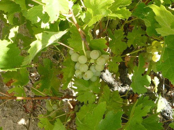 Vino Sierra