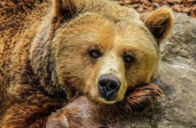 oso pardo 2 pixabay