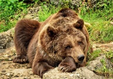 oso pardo pixabay