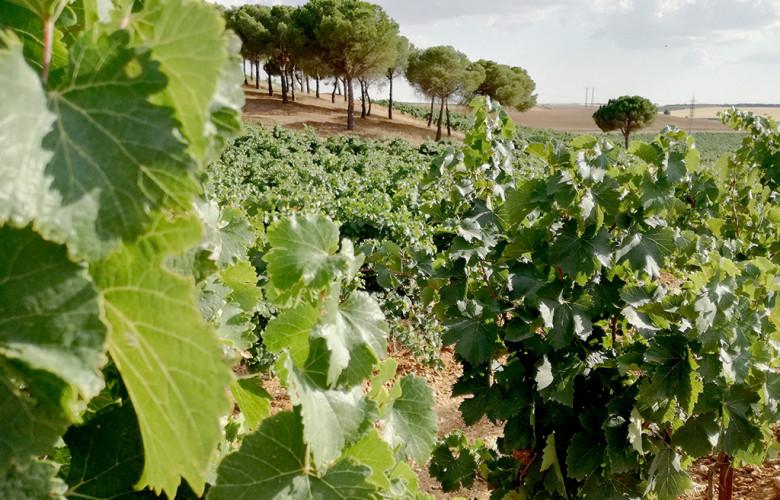 ICAL. Viñedos de la Ruta del Vino de Rueda.
