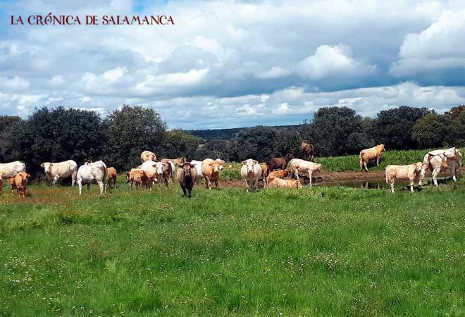 Vacuno Salamanca