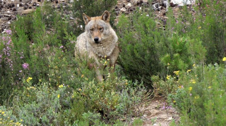 lobo iberico icaL