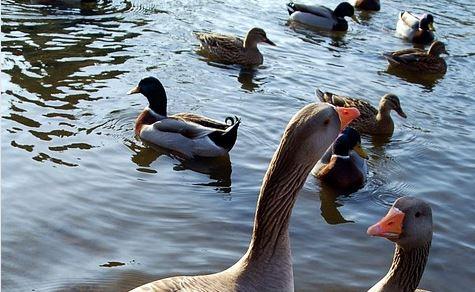 ocas patos pixabay
