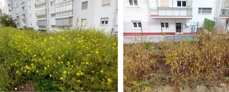 Escasos metros separan una imagen de la otra, solo las diferencia que una han utilizado herbicidas y en la otra no.