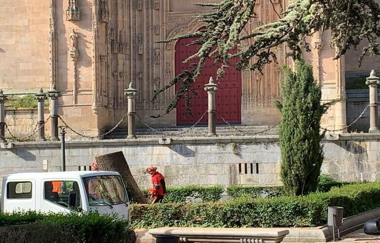Los operarios de parques y jardines talan uno de los pinos de la plaza de Anaya porque estaba seco.